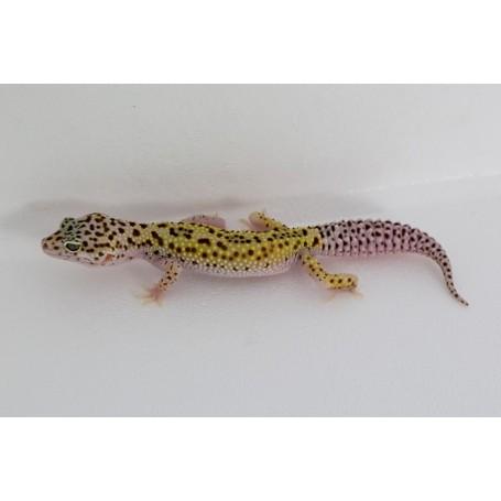 Gecko Leopardo Radar