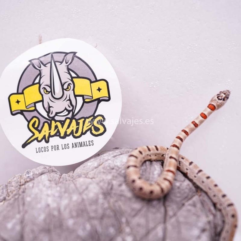 Discus Flakes Dajana