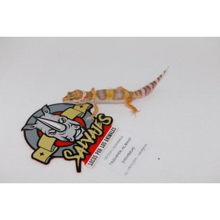 Gecko leopardo Tremper Albino Hembra