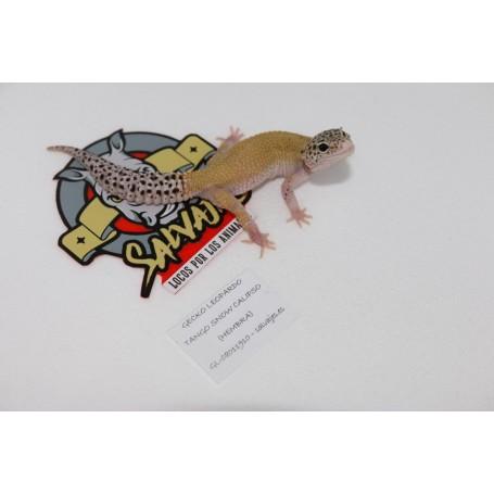 Gecko leopardo Tango Snow Calipso Hembra