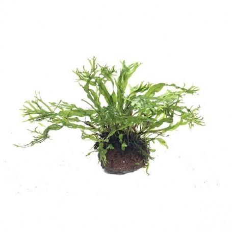 Microsorium ex natura