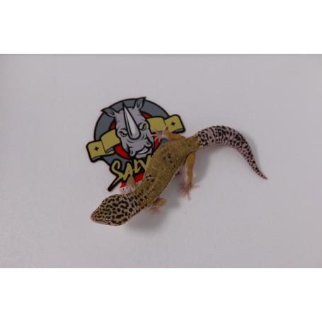 Gecko leopardo High yellow macho Adulto