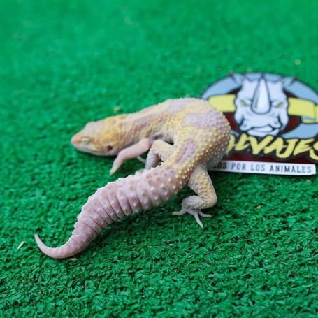 Gecko Snow Albino Cheips Hembra