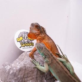 Iguana Roja