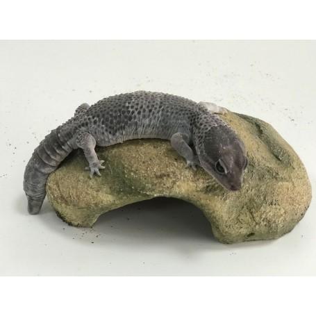 Gecko Hemitheconyx nominal hembra reproductora