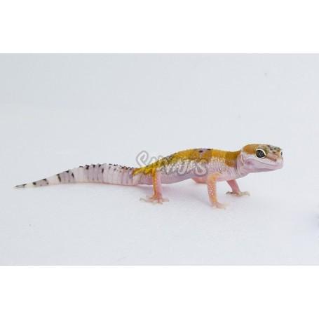 Pack inicio Gecko Leopardo - Surtido Economy