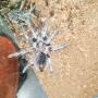 Tarántula phormictopus cancerides 5 cm