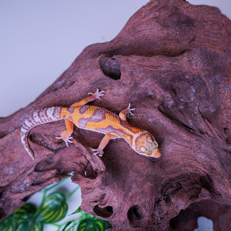 Blaesodactylus Boivini Gecko Velado
