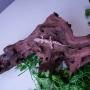 Gusano rey (Zophoba morio)