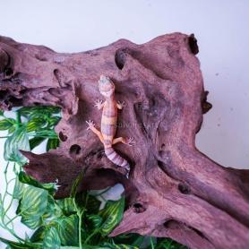 Serpiente del maiz Fase Snow - Elaphe Guttatus