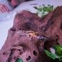 Grillo rubio (Acheta domesticus)