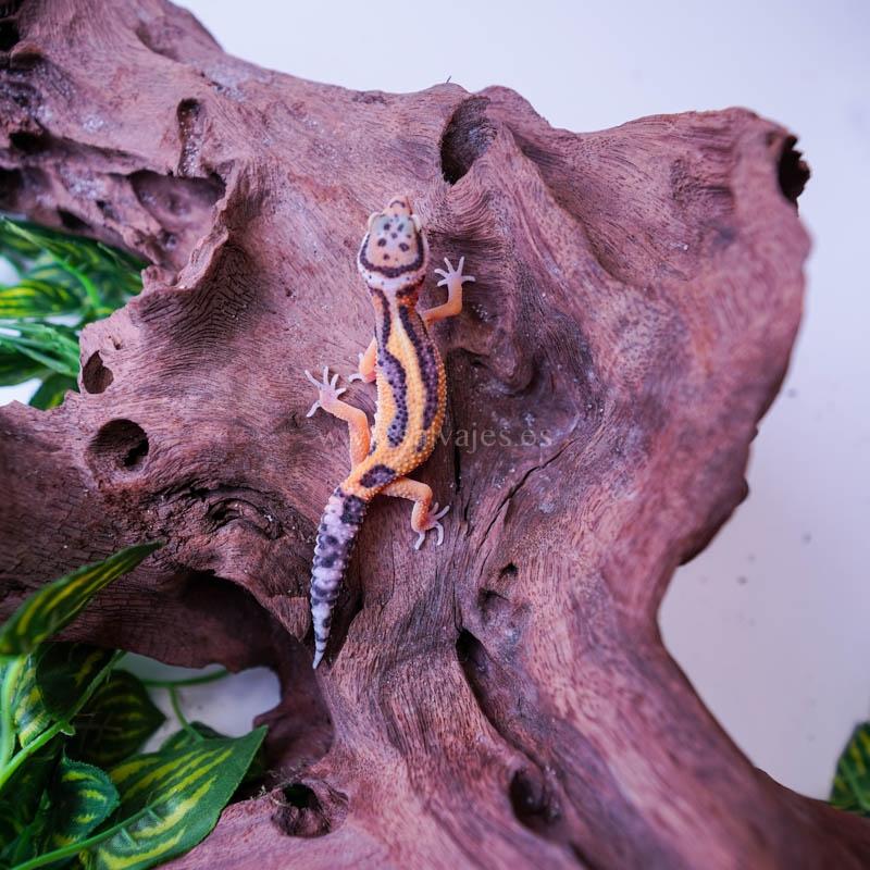 Ración Cucaracha argentina (Blaptica dubia)