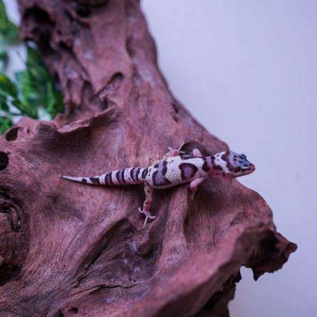 Gecko Mack snow Aberrant Poss Hembra