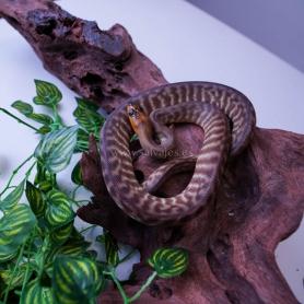 Guppy hembra - POECILIA RETICULATUS