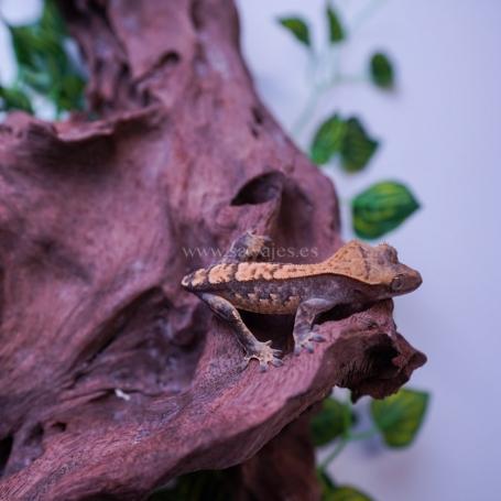 Gecko Crestado Arlequin Poss Hembra