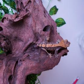 Guppy macho - POECILIA RETICULATUS