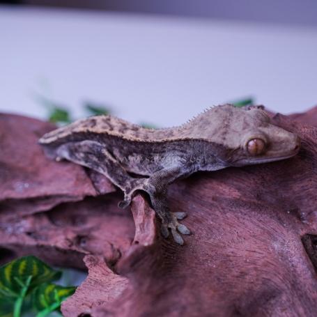 Gecko Crestado Arlequin Macho