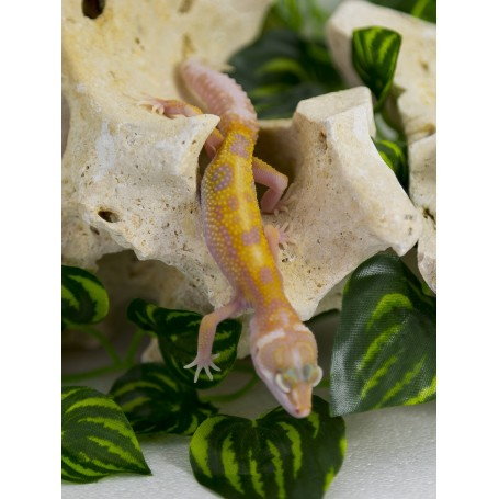 Gecko Leopardo Tremper Jungle
