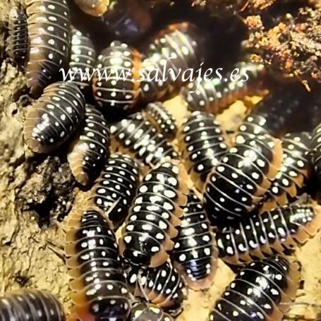 Cochinillas de la humedad Armadillium klugii (Oniscidea) 10 uds