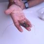 🕷️ Araña látigo gigante de Togo - Damon medius