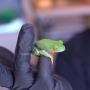 🐸 Agalichnys Rana verde de ojos rojos (Agalychnis callidryas) Adultas