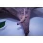 Gecko Leopardo Blizzard Monster macho