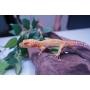 Gecko Tremper Tangerine Macho ADULTO