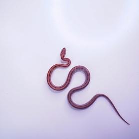 Tronco con Microsorium Pteropus