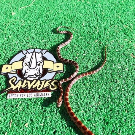 Serpiente del maiz baby