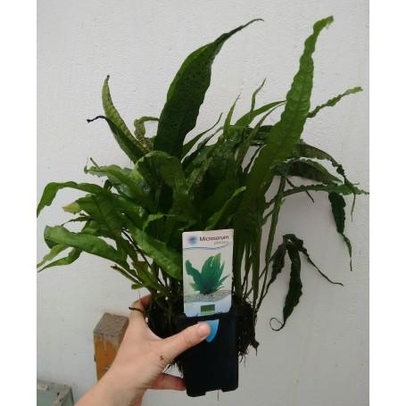 Microsorium pteropus (Helecho de Java) Madre XL