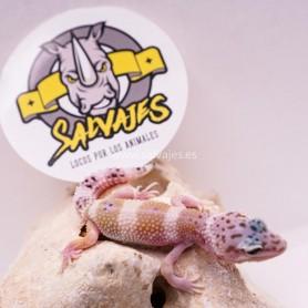 Gecko Leopardo Poss Raptor / Super Hypo Poss Macho