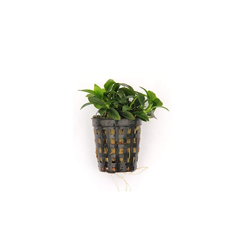 Salabre verde