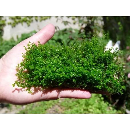 Micranthemum Montecarlo (en malla)