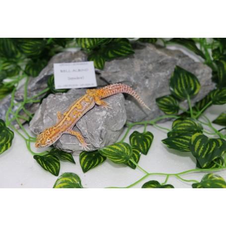 Gecko Leopardo Bell Albino Hembra