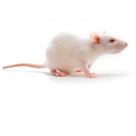 Raton adulto 1 unidad
