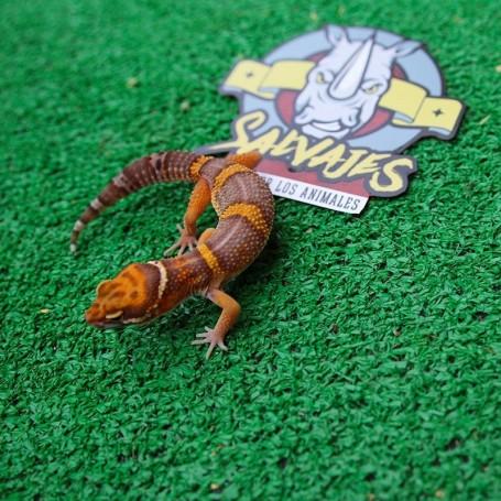 Gecko Tremper Hembra