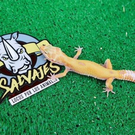Gecko Leopardo - Hypo phoroptor Hembra