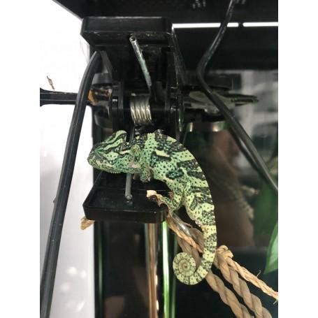 Camaleon de Yemen Calyptratus