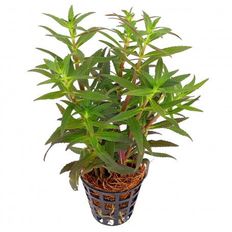 Ambulia aromática (Limnophila aromática) Green