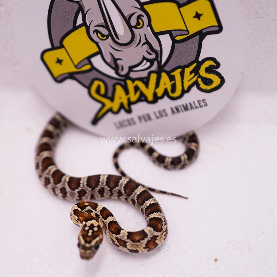 Iniciarse con serpiente del maiz